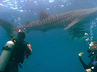 Whale shark diving of Koh Tao Thailand